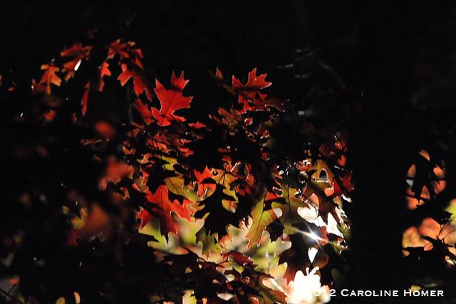 Red oak at night