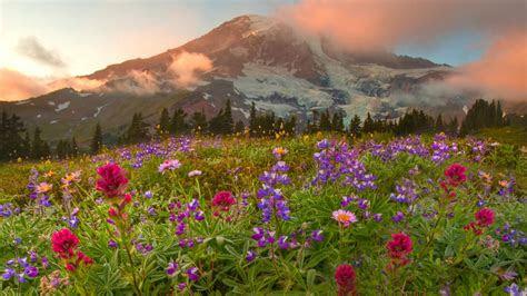 full hd wallpaper lupine meadow alp mountain cloud shine