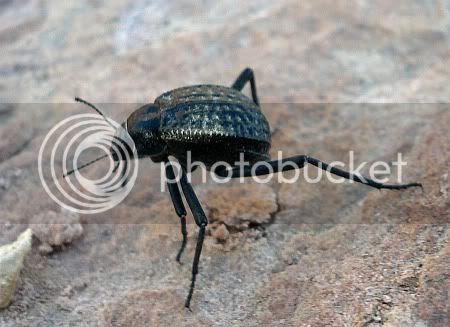 Beetle Dana Canyon