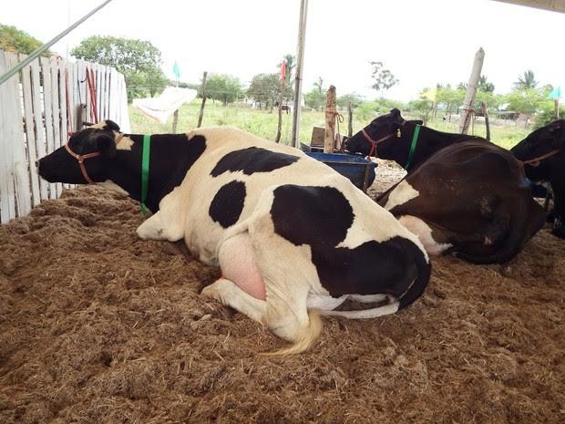 Vacas (Foto: Larissa Cordeiro/ Ascom PML)