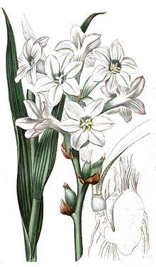 Polianthes tuberosa clean.jpg