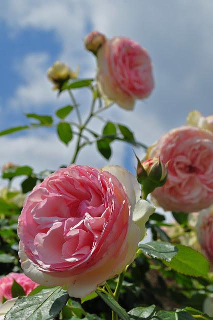 Rose Eden Climber