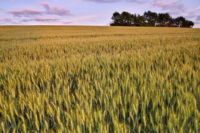 Dusk light on the wheat field