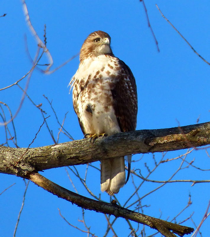 Red tail with foot up in Tompkins Square