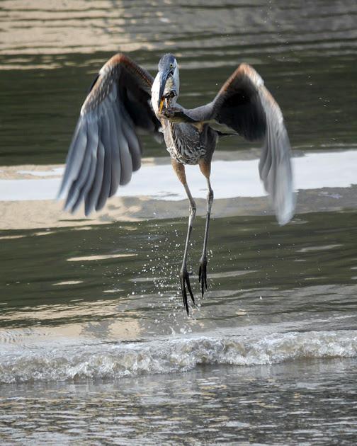 Ed Gaillard: birds &emdash; Great Blue Heron, Muscota Marsh