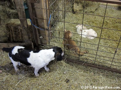 Farm dogs and little lambs 2 - FarmgirlFare.com