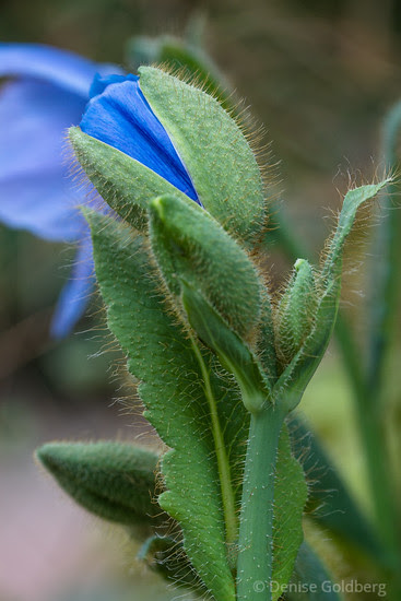 a blue poppy about to emerge