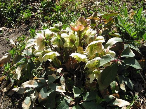 Jouluruusu kukkii Braskissa 4-09