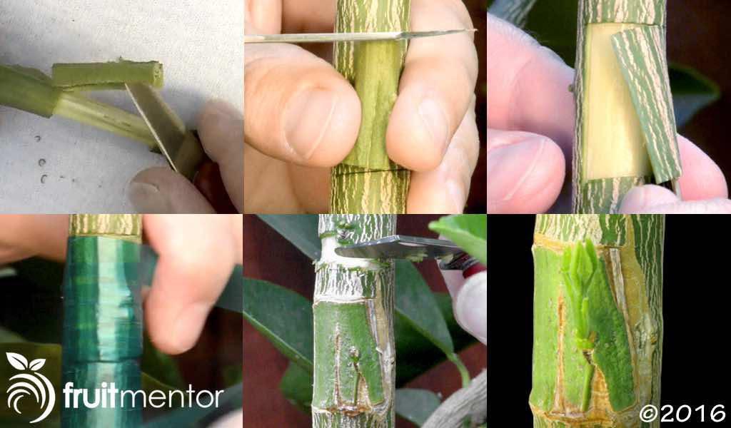 Este tutorial paso a paso se muestra cómo injertar los árboles de cítricos utilizando ciernes parche.