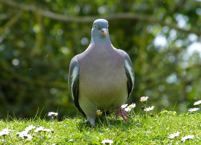 27250 - Wood Pigeon, Llanelli WWT