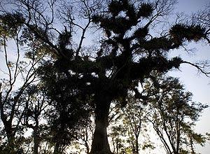 Paineira centenária, de 29 metros de altura, fez com que traçado do rodoanel tivesse que ser desviado na Grande SP