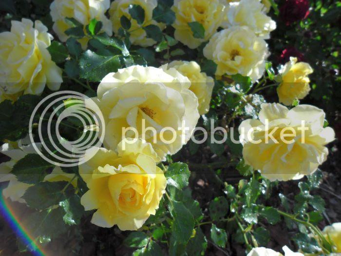 photo roses5_zpsf410f628.jpg