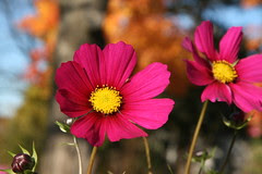 fall colors - the last cosmos' of the year