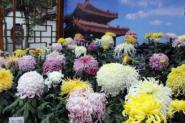 Chrysanthemum The Symbol Of Vitality In Chinese Culture