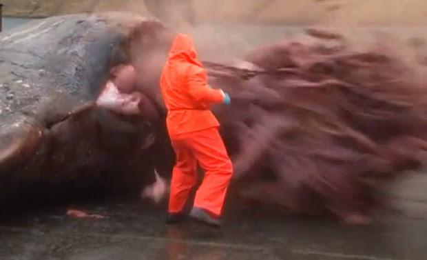 Ao tentar abrir estômago de animal, barriga da baleia 'explodiu' (Foto: Reprodução/YouTube/Johan Joensen)