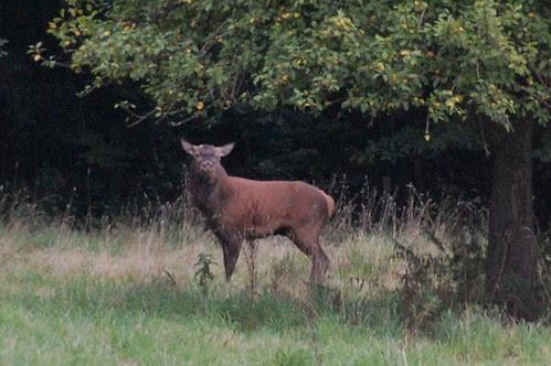 butch noisy deer
