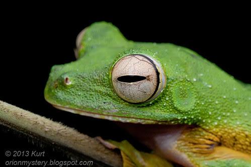 Wallace's Flying Frog (Rhacophorus nigropalmatus) IMG_2656 copy