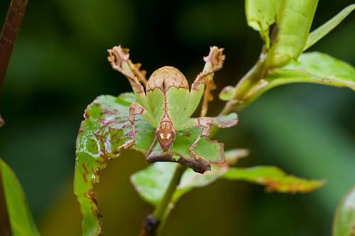 cryptic katydid on a plant IMG_2141 dt copy
