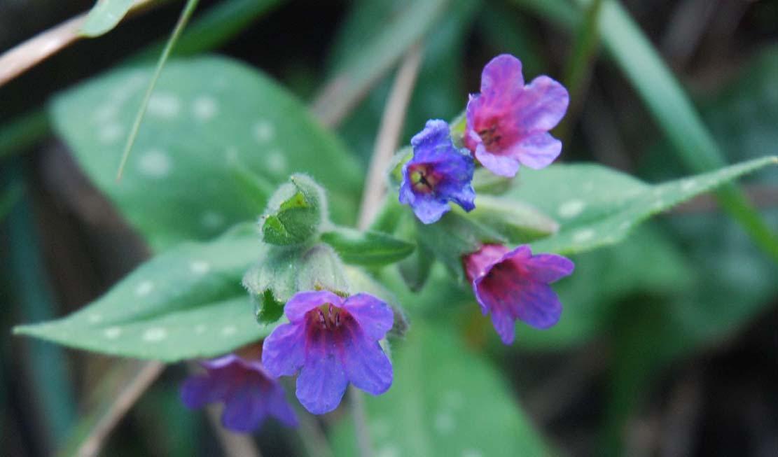 Images-Photos: fleur Pulmonaire
