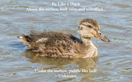 Be Like A Duck Quotes Sentences Typography Pixoto