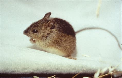 Jumping Mouse is a Real Troublemaker   Science Buzz