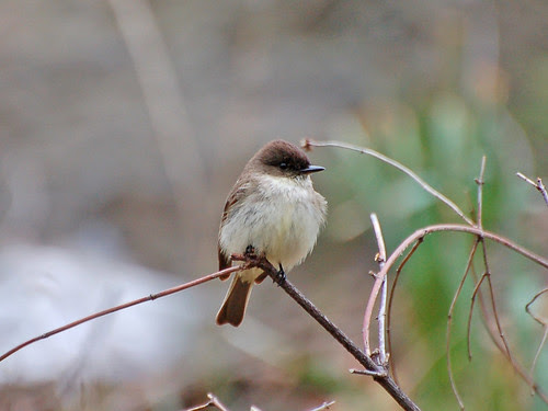 Eastern Phoebe in Morningside Park