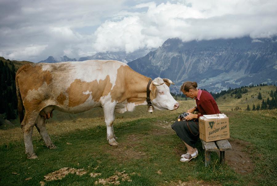 Una vaca curiosa en una colina trata de picar la cámara de una mujer en Suiza, noviembre 1956.Photograph por Franco y Jean Shore, National Geographic