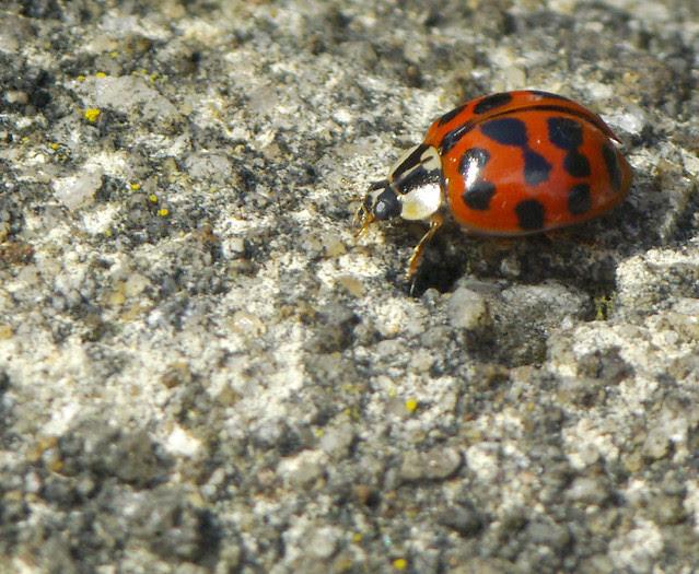 Harlequin Ladybird [IGP7258]