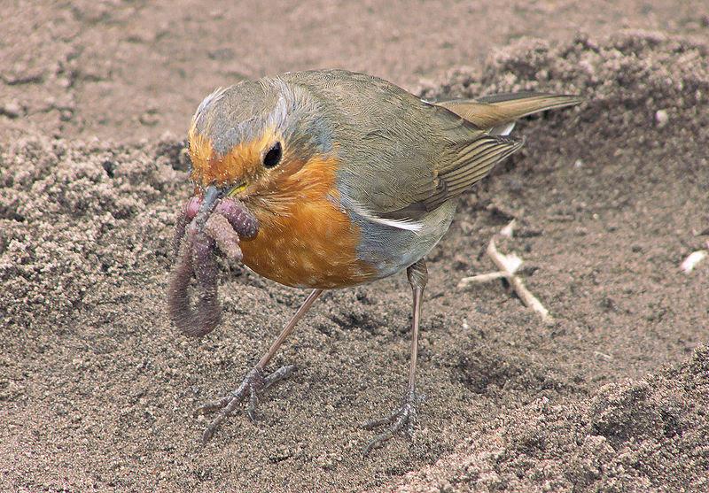 """European Robin with Earthworm"" by Rasbak, Wikimedia Commons"