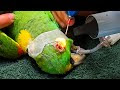 Parrot has a Hole in His Eye | Surgery Day