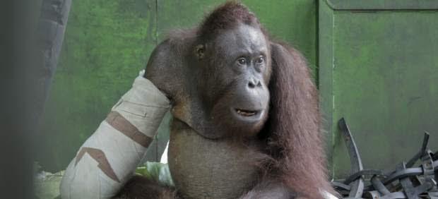 Pelansi, un orangután manco