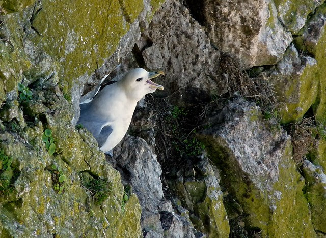 23999 - Fulmar, Thurba Head, Gower