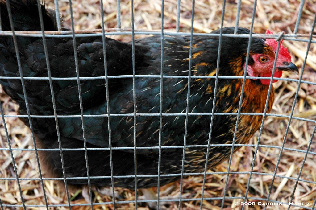Beautiful hen