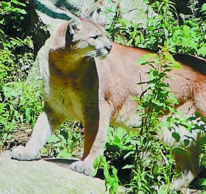 test4Cougar spotted in Keene?