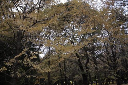 Sky of golden ginkgo leaves