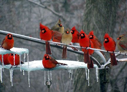 birds, cardinals
