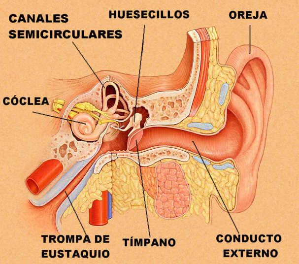 """""""Estructura interna de oído. Adaptado de www.tchain.com"""""""