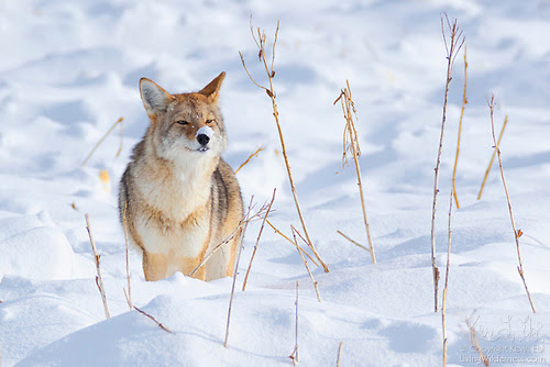 Coyote With Snow-Covered Nose, Yellowstone National Park, Wyoming