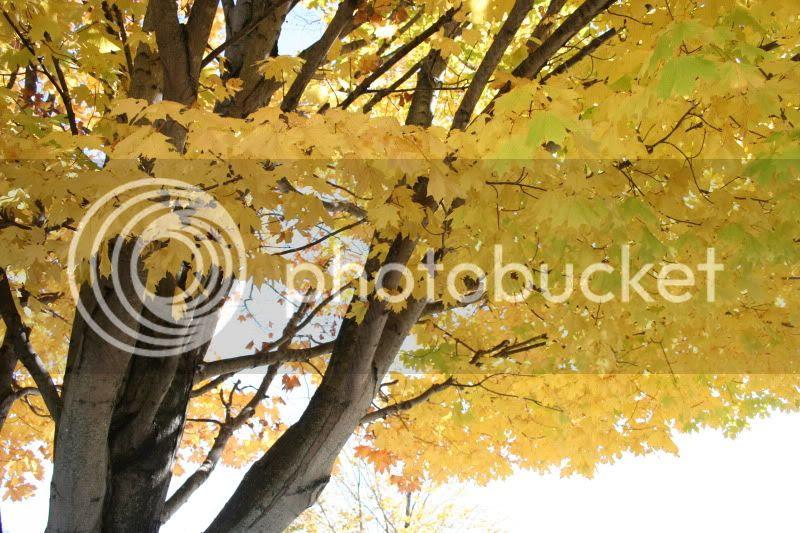 yellow fall leaves pretty