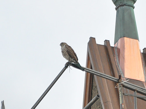 Cathedral Juvie Red-Tail