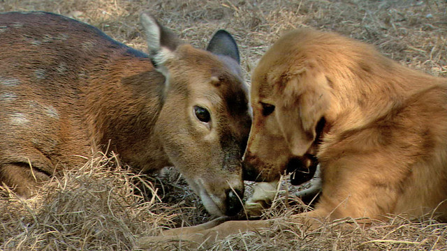 NATURE_deer_dog