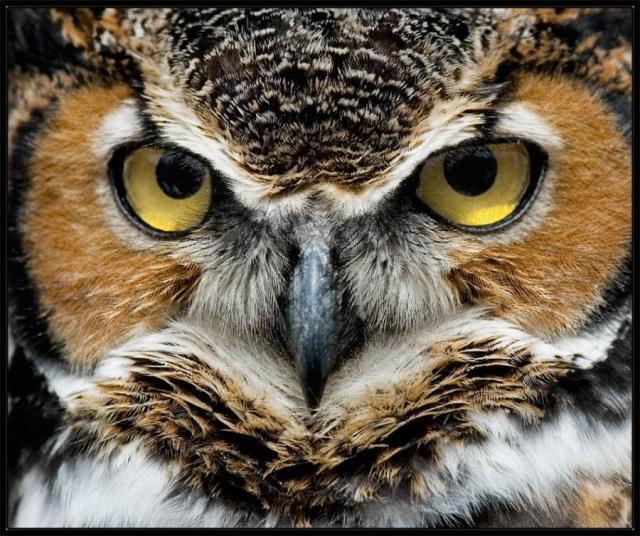 owl eyes2