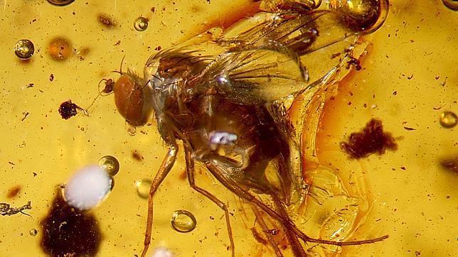 Hallan en el Amazonas especies fosilizadas en ámbar de 20 millones de años de antigüedad