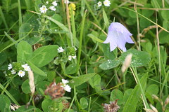 Hare bell and eyebright