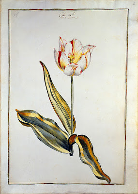 watercolour painting from Karlsruher Tulpenbuch