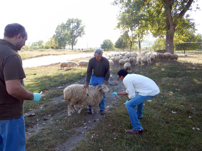 Photo: Neil Vora with sheep orthopox outbreak in Georgia (country).