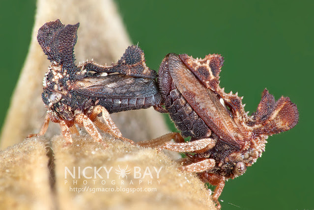 Treehoppers (Membracidae) - DSC_3081b