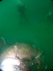Diving off the coast of Shiretoko penisula