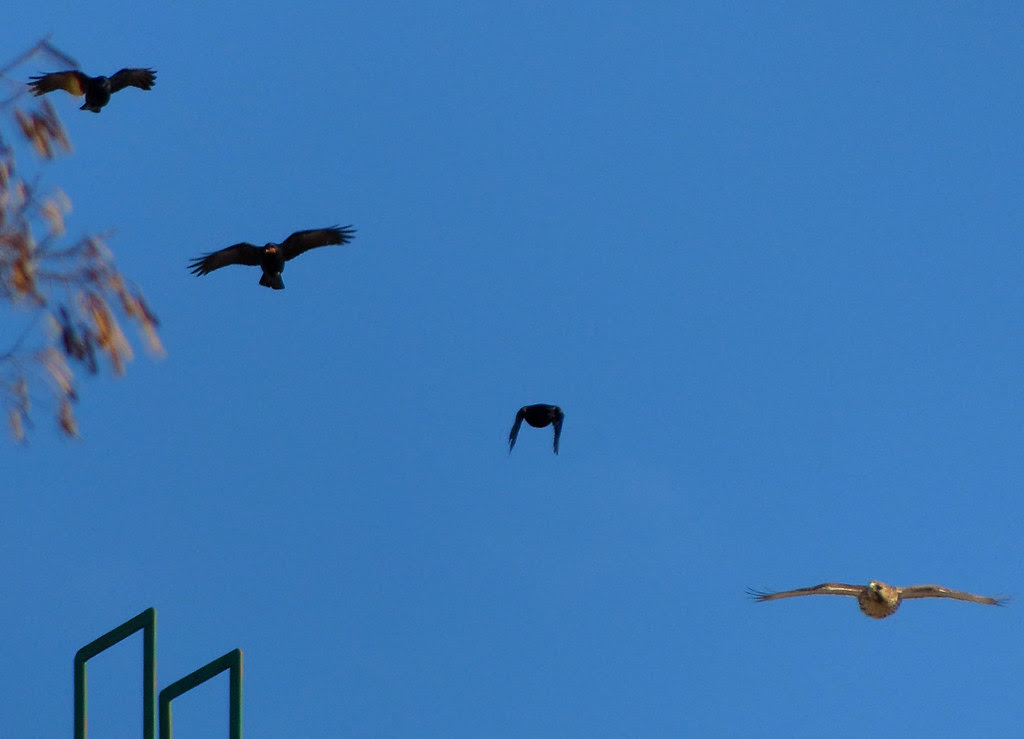 Crows chasing a red-tailed hawk over the Christadora