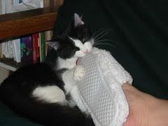 """Kitten Josie eating Mom's """"bad kitty"""" slipper"""